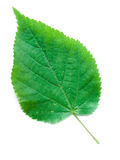 叶子椴树 免版税库存图片