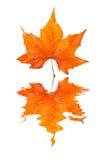 叶子槭树反射了 库存照片