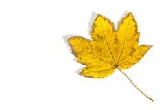 叶子槭树唯一黄色 免版税图库摄影