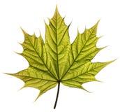 叶子槭树春天 库存图片
