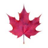 叶子槭树白色 库存照片
