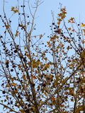 叶子槭树种子 免版税库存图片