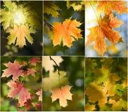 叶子槭树集 免版税库存图片