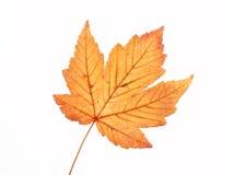 叶子槭树黄色 免版税库存照片