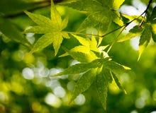 叶子槭树 免版税图库摄影