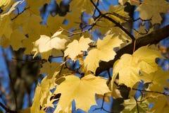 叶子槭树11月 库存照片