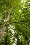叶子橡木春天结构树 库存照片