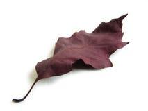 叶子橡木红色 免版税库存图片