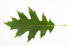 叶子橡木红色 免版税图库摄影