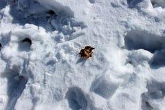 叶子橡木 与一片橡木叶子的静物画在雪 免版税库存图片