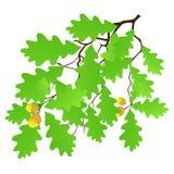 叶子橡木 免版税库存图片