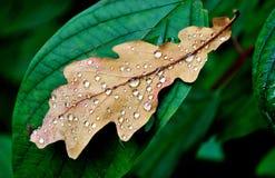 叶子橡木 图库摄影