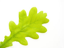 叶子橡木 库存图片