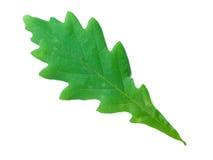 叶子橡木 库存照片