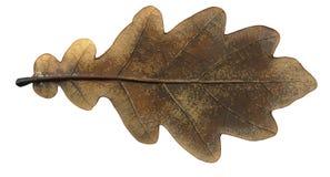 叶子橡木 免版税图库摄影