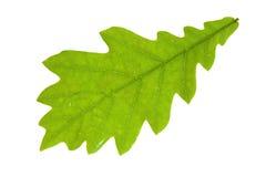 叶子橡木 免版税库存照片