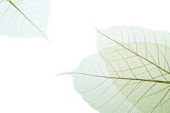 叶子橡胶树 库存照片