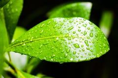 叶子湿表面  库存图片