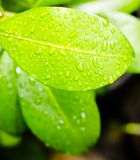 叶子湿表面  库存照片