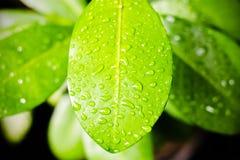 叶子湿表面  免版税库存图片