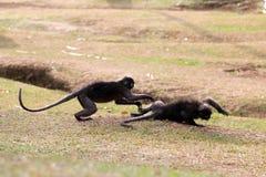 叶子猴子或暗淡的叶猴是与或咬住在草坪我战斗 免版税库存图片