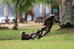 叶子猴子或暗淡的叶猴是与或咬住在草坪我战斗 免版税库存照片