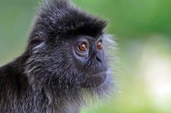 叶子猴子银 免版税图库摄影