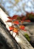 叶子生长在岩石的一个裂缝外面的萸肉suecica 库存图片