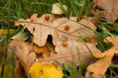 叶子用椴树果子 免版税库存照片