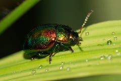叶子甲虫开会的一只深绿白种人甲虫的宏指令 免版税库存照片