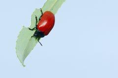 叶子甲虫 免版税库存照片
