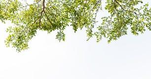 叶子白色背景 免版税库存照片