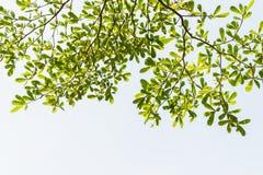 叶子白色背景 图库摄影