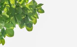 叶子白色背景 免版税库存图片