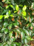 叶子的改变的颜色 库存图片