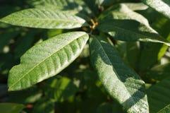 叶子的美好的本质在Chacheongsao 免版税库存图片