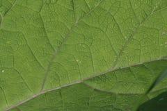 叶子的肢体和神经 免版税库存照片