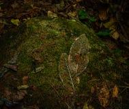 叶子的骨骼在石头的 免版税库存照片