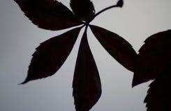 叶子的黑剪影 库存照片