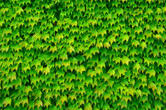 从叶子的绿色背景 免版税库存照片