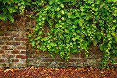 叶子盖了老砖墙 免版税图库摄影