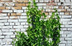叶子盖了老砖墙 图库摄影