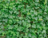 叶子种植背景 图库摄影