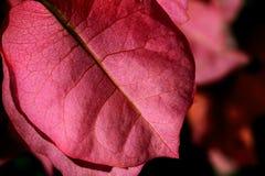 叶子粉红色 库存照片
