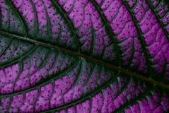 叶子紫色 免版税库存图片