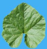 叶子红色南瓜植物 免版税库存图片