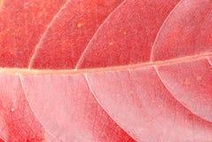 叶子红色纹理 免版税库存图片