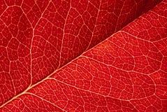 叶子红色纹理 库存图片