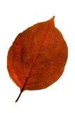 叶子红色 图库摄影