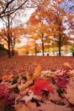 叶子红色 免版税图库摄影